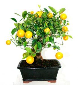 Bonsai limonero ¿Cuál comprar?
